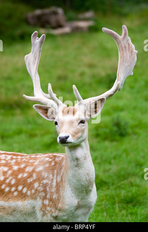 Fallow deer in the wilderness, Black Forest, Germany - Stock Photo