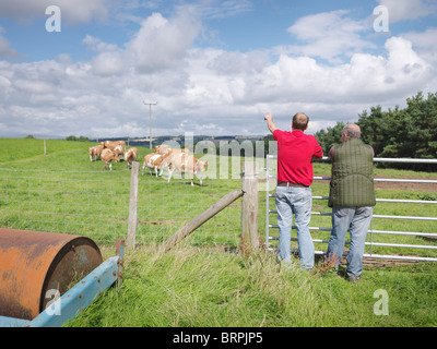Farmer with Guernsey cows - Stock Photo