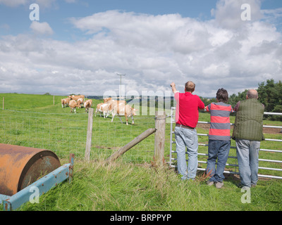 Farmer and sons with Guernsey cows - Stock Photo