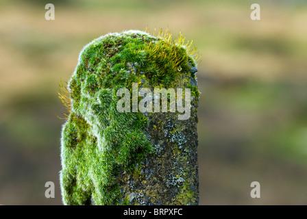 Moss growing on old concrete fence post on Dartmoor, Devon, UK - Stock Photo