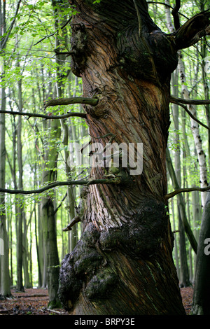 Ancient Twisted Sweet Chestnut Tree, Castanea sativa, Fagaceae. Ashridge Estate, Hertfordshire. - Stock Photo