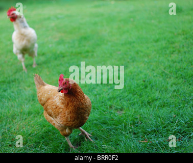 Inquisitive chickens - Stock Photo