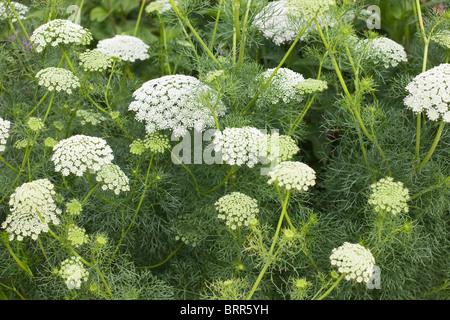Lace flower or Bishops weed, Ammi majus