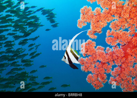 bannerfish and soft coral - Stock Photo