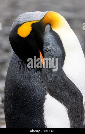 King penguins, Fortuna Bay, South Georgia Island - Stock Photo