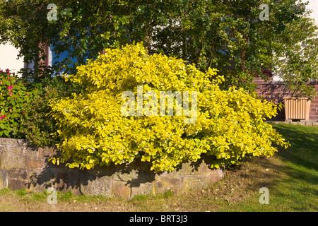 Evergreen shrub, Euonymus Fortunei, Emerald n Gold - Stock Photo