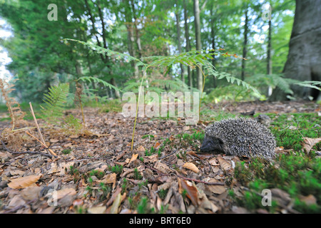 Western European hedgehog (Erinaceus europaeus) young walking in a wood to find food in autumn - Stock Photo