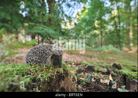 Western European hedgehog (Erinaceus europaeus) young looking for food in a wood in autumn - Stock Photo