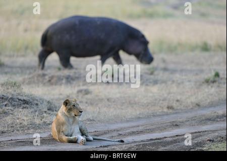 East African lion - Massai lion (Panthera leo nubica) & hippo (Hippopotamus amphibius) - Stock Photo