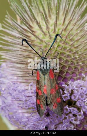Six-spot burnet (Zygaena filipendulae) moth on teasel, Essex, England, United kingdom