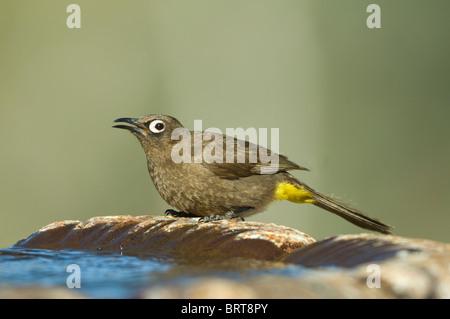 Cape Bulbul Pycnonotus capensis Namaqualand Northern Cape South Africa - Stock Photo