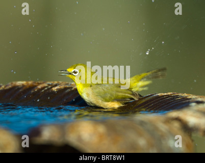 Cape White-Eye Zosterops virens Namaqualand Northern Cape South Africa - Stock Photo