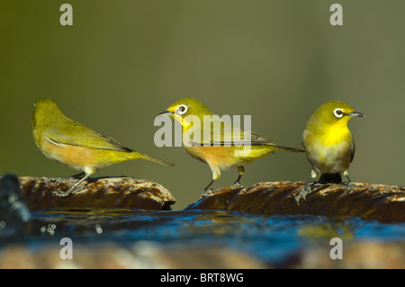 Cape White-Eyes Zosterops virens Namaqualand Northern Cape South Africa - Stock Photo