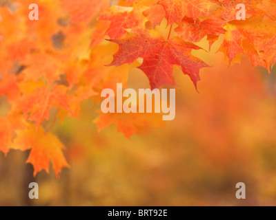 Shallow focus photo of red maple leaves fall nature scenery. Ontario, Canada. - Stock Photo