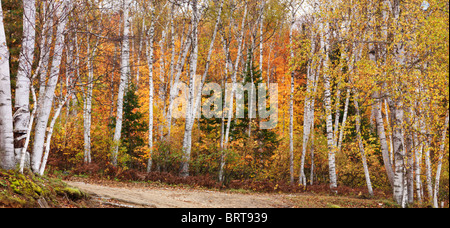 Panoramic fall nature scenery of birch trees with colorful yellow leaves in a forest. Arrowhead Provincial Park, Ontario, Canada Stock Photo