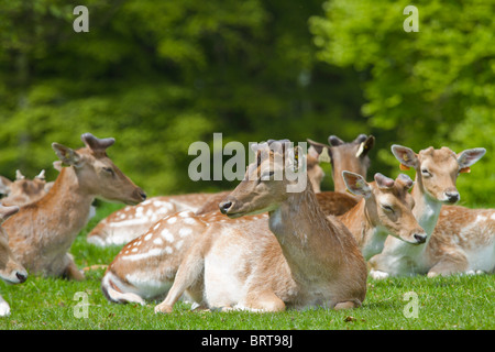 Deer in Phoenix Park, Dublin. - Stock Photo