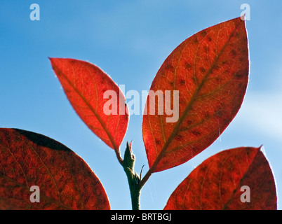 Autumn colored leaves of ivy in Gauja National Park Latvia - Stock Photo