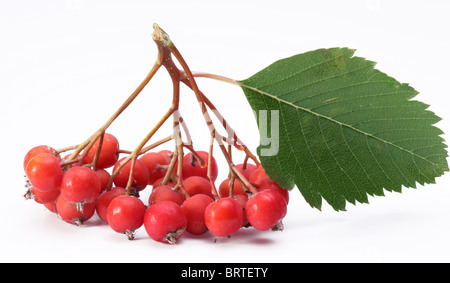 Cluster of rowan berries on a white background. - Stock Photo