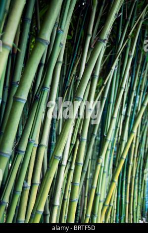 bamboo trees growing - Stock Photo