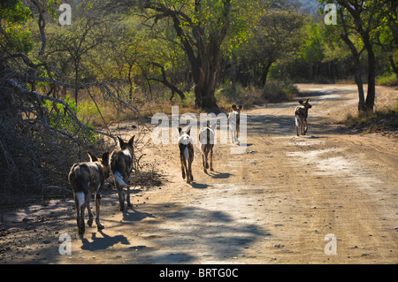 Extremely rare African Wild Dogs (Lycaon pictus) moving as a pack down a dirt track in KwaZulu-Natal, South Africa - Stock Photo
