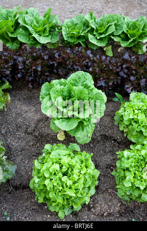 salad garden bio biologic sprouts growing greens leafy leaves ...