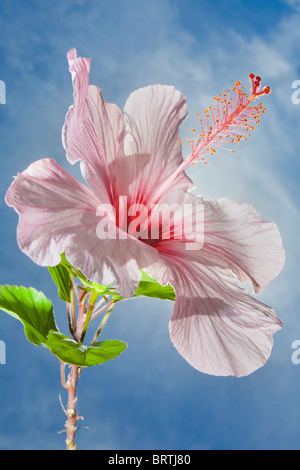 Hibiscus rosa-sinensis flower silhouetted against the sun  and blue sky - Stock Photo