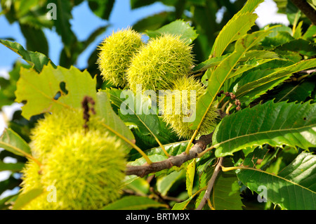 Sweet chestnut in close up - Stock Photo