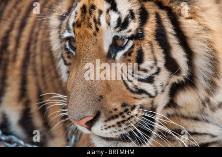 A close up of the head of a bengal tiger - Stock Photo