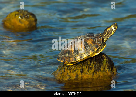 Trachemys Scripta Scripta (Yellow-bellied Slider) turtle, basking in the sun. - Stock Photo