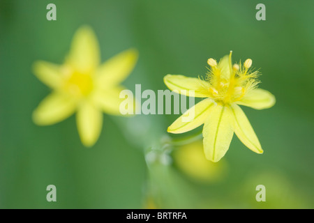 Yellow flowered form of Bulbine,frutescens in macro with smooth green background - Stock Photo