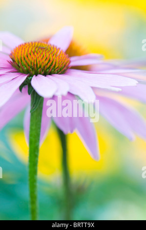 Close-up, portrait image of a single pink Echinacea purpurea flower also known as a purple Coneflower. - Stock Photo