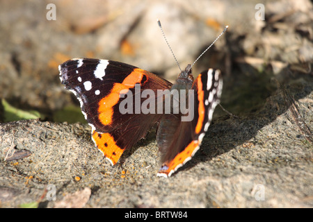 Red Admiral Butterfly - Stock Photo