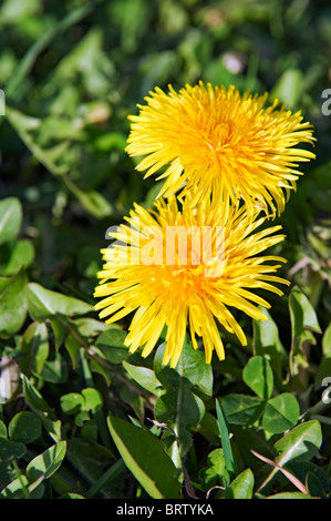 Close up of two flowering dandelions in grassy field on bright, sunny day - Stock Photo