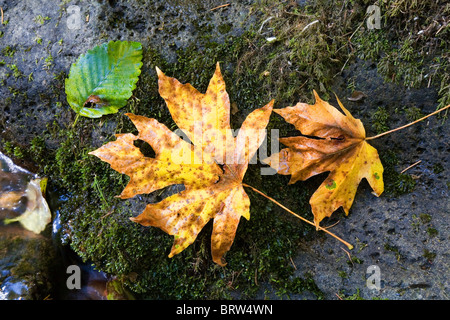 Bigtooth maple leaves in the Cascade Mountains in Oregon - Stock Photo