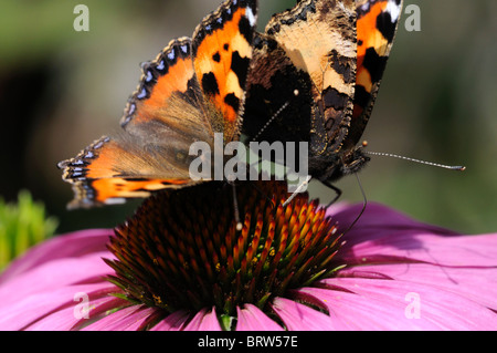 Small Tortoiseshell butterfly Aglais urticae feeding feed drink drinking nectar from echinacea purpurea flower two - Stock Photo