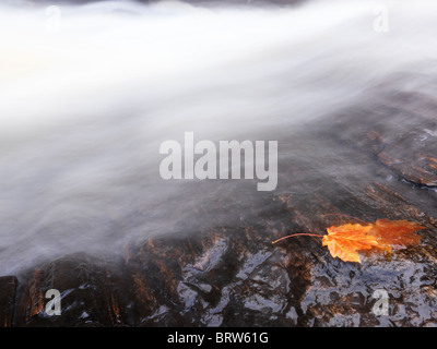 Red maple leaf on a rock being washed away by a waterfall stream. Ontario, Canada. - Stock Photo