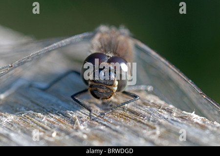 Black Darter Dragonfly Sunning on a park bench.  SCO 6836 - Stock Photo