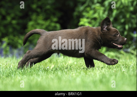 Labrador Retriever, Chocolate Labrador (Canis lupus familiaris), brown puppy running on a lawn. - Stock Photo