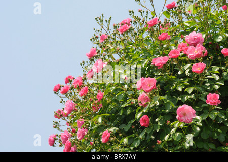 Pink roses, Hyogo Prefecture, Honshu, Japan - Stock Photo