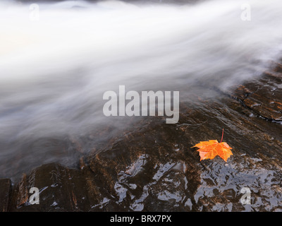 Red maple leaf lying on a rock close to a waterfall stream. Ontario, Canada. - Stock Photo