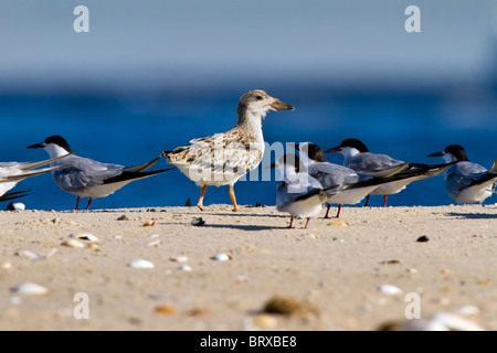 Juvenile Black Skimmer - Stock Photo