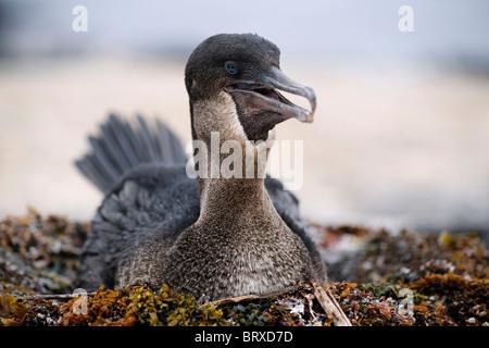 Flightless cormorant (Phalacrocorax harrisi), breeding on nest, Fernandina, Punta Espinosa, island, Galapagos archipelago - Stock Photo