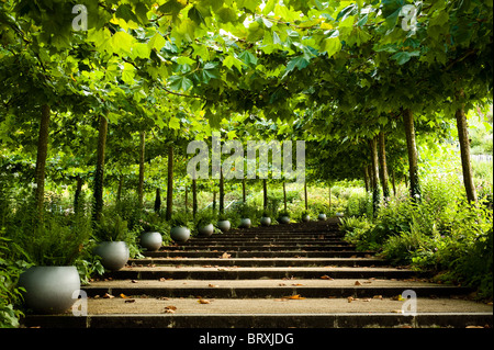 Avenue of London Planes, Platanus x acerfolia, at The Eden Project in Cornwall - Stock Photo