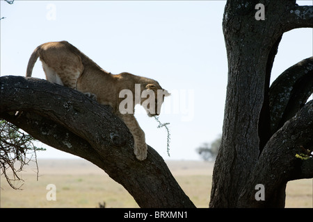 Young lion on a tree. - Stock Photo