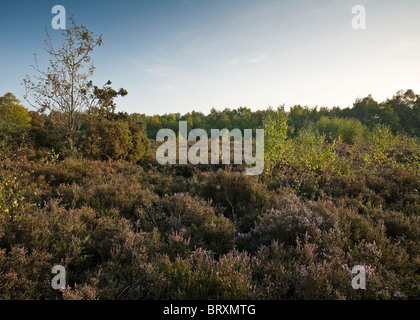 Heather and young Silver Birch in the heathland of Snelsmore Common Country Park near Newbury Berkshire - Stock Photo