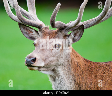 A close up of a Red Deer stag - Cervus elaphus - Stock Photo