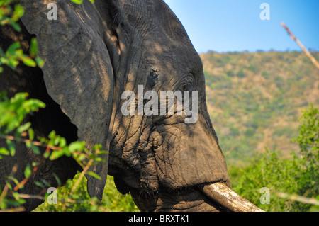 African elephant (Loxodonta africana) close up of head - Stock Photo