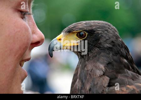 HARRIS' HAWK, FALCONRY, BIRDS, PREY SHOW - Stock Photo