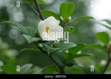 Japanese Stewartia (Stewartia pseudocamellia), Gunma Prefecture, Honshu, Japan - Stock Photo