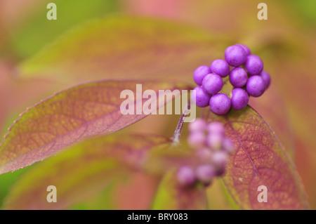 Purple Beautyberries (Callicarpa dichotoma), Chiba Prefecture, Honshu, Japan - Stock Photo